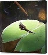 Tadpole On Lily Pad Canvas Print