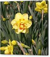 Tahiti Double Daffodil Canvas Print