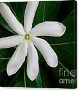 Tahitian Gardenia Canvas Print