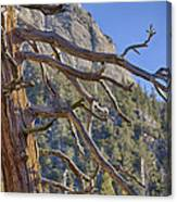 Tahquitz And The Pine Canvas Print