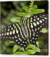 Tailed Jay Canvas Print
