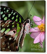 Tailed-jay Butterfly Canvas Print