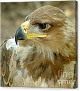 Tawny Eagle-11 Canvas Print