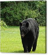 Tall Blackbear Canvas Print