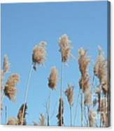 Tall Feathered Grass Hits Sky Canvas Print