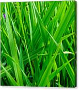 Tall Green Grass Canvas Print
