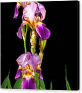 Tall Iris Canvas Print