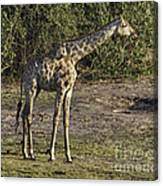 Tall One Canvas Print