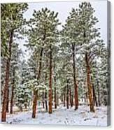 Tall Snowy Pines Canvas Print