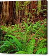 Tall Trees Grove Canvas Print