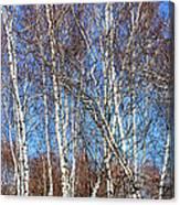 Tall White Birches Canvas Print