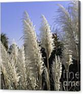 Tall Wispy Pampas Grass Canvas Print