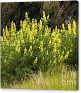 Tall Yellow Lupin Canvas Print