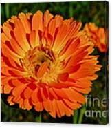 Tangerine Calendula Canvas Print