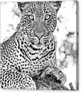 Tarangire Leopard Canvas Print