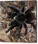Tarantula Amazon Brazil Canvas Print