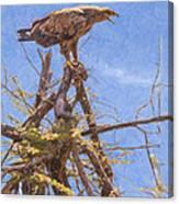 Tawny Eagle  Aquila Rapax Calling From  Acacia Bush Canvas Print