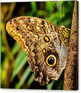 Tawny Owl Butterfly Canvas Print