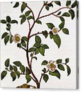 Tea Branch Of Camellia Sinensis Canvas Print