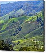 Tea Plantation In The Cameron Highlands Malaysia Canvas Print