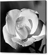 Tea Rose 01 - Infrared Canvas Print