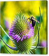 Teasel And Bee Canvas Print