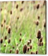 Teasel Meadow Canvas Print