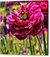 Tecolote Ranunculus Flowers By Diana Sainz Canvas Print
