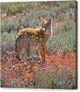 Teton Coyote Canvas Print