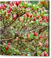 Tetragnathidae Web In Azalea - Cape Cod Ma Canvas Print