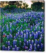 Texas Bluebonnet Field Canvas Print