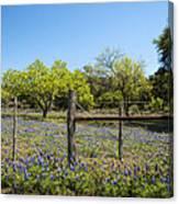 Texas Bluebonnet Lupine Pature Canvas Print
