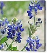 Texas Bluebonnets 01 Canvas Print