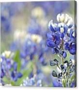 Texas Bluebonnets 05 Canvas Print