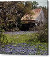 Texas Bluebonnets With Old Abandoned Shack Canvas Print