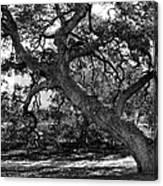 Texas Capitol Tree Canvas Print