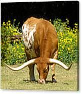 Texas Longhorn Cattle  Canvas Print