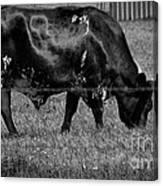 Texas Longhorn IIi Canvas Print