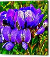 Texas Mountain Laurel Along Window Trail In Big Bend National Park-texas Canvas Print