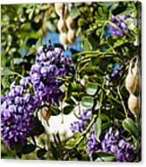 Texas Mountain Laurel Sophora Flowers And Mescal Beans Canvas Print