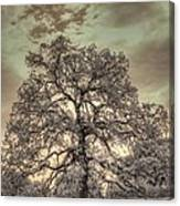 Texas Oak Tree Canvas Print