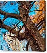 Texture Of The Bark. Old Oak Tree Canvas Print