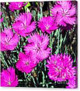 Textured Pink Daisies Canvas Print