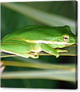 The American Green Tree Frog Canvas Print