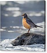 The American Robin Square Canvas Print