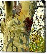 The Beatiful Sycamore Canvas Print