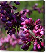 The Beautiful Redbud Tree Canvas Print