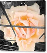 The Beautiful Rose Canvas Print