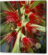 The Bee And Bottlebrush Canvas Print