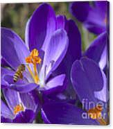 The Bee And The Crocus Canvas Print